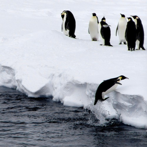 Pingüino se resbala