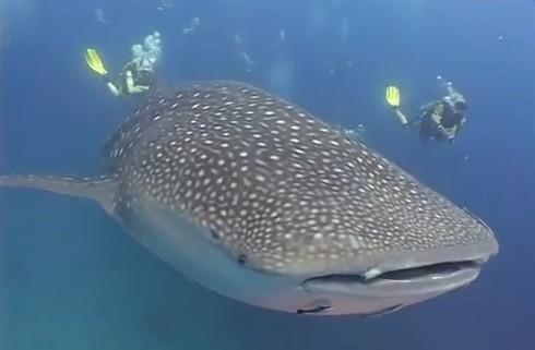El Tiburón Ballena el Pez más grande del oceano