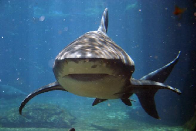 El Feroz Tiburón