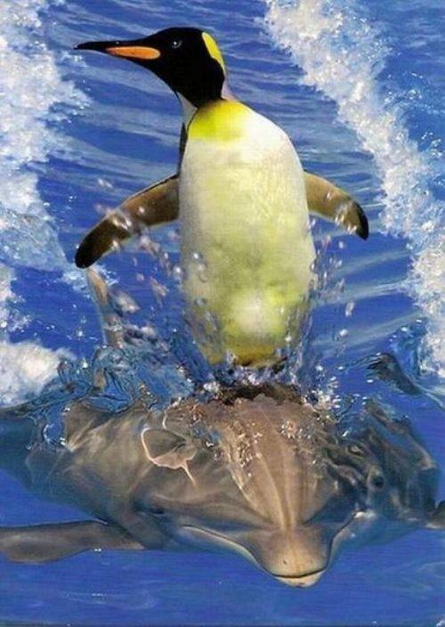 Pingüino Surfeando sobre Delfín
