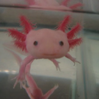 El Axolotl o Ajolote