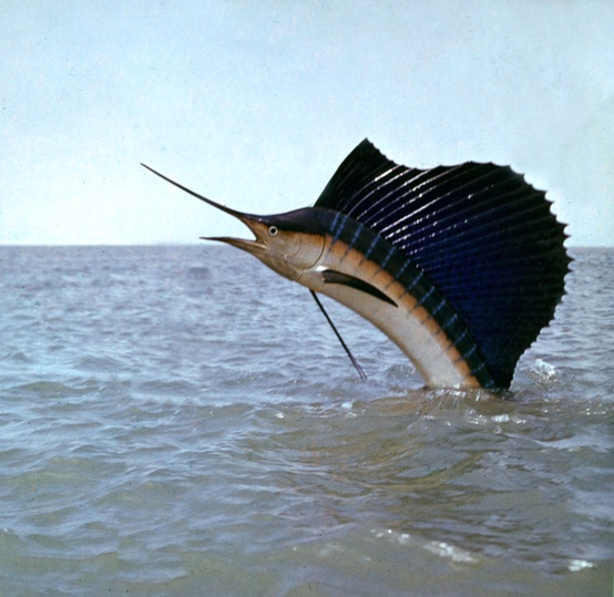 Indo-Pacific-sailfish- ...