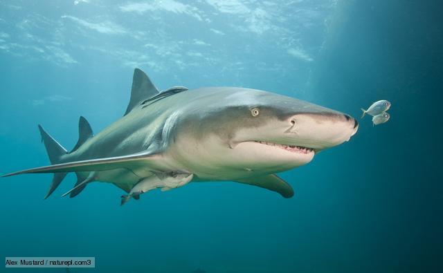 El Tiburón Limón uno de los animales acuáticos más feroces