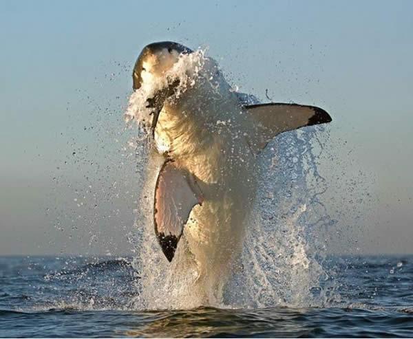 El Tiburón Blanco
