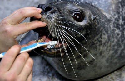 Cepillando los dientes a una foca