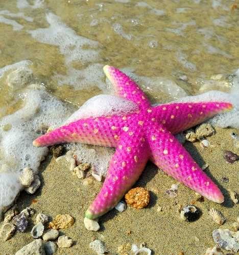 Estrella de Mar Rosada