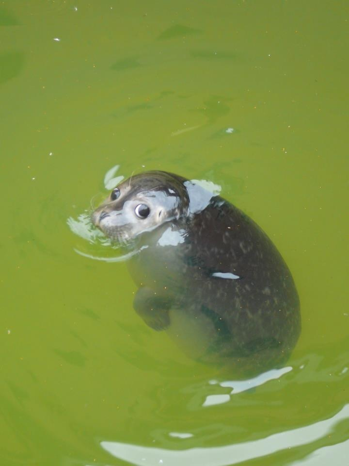 Una linda Foca bebé nadando