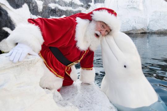Santa recibe un beso de una beluga blanca
