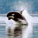 Orca_porpoising1