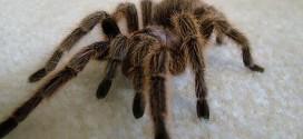 La araña pollito