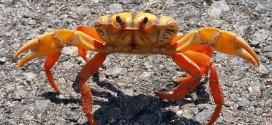 Los cangrejos de mar y su miles de especies